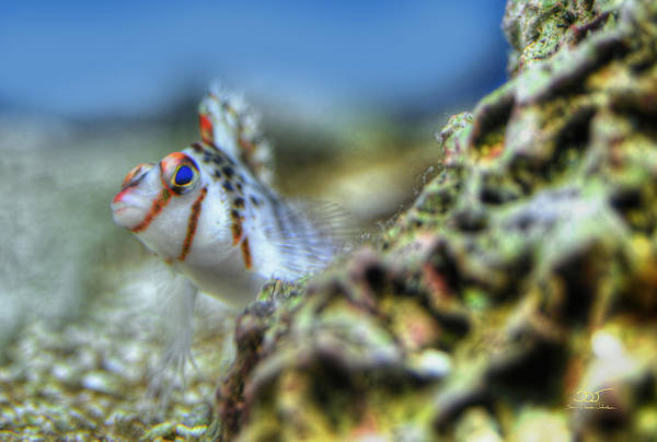 Photograph - Goby by Sam Davis Johnson