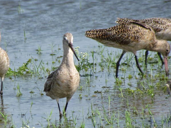 Pokes Wall Art - Photograph - Godwit 2 by Cobey Coles