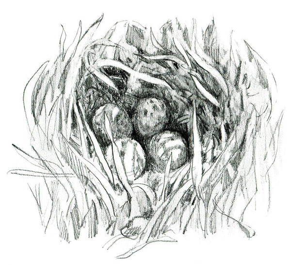 Drawing - Godwit Nest by Abby McBride