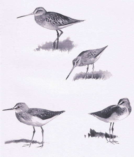 Species Drawing - Godwits And Green Sandpipers by Archibald Thorburn