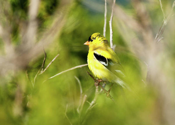 Finch Photograph - Gold Finch by Greg Nyquist