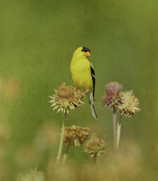 Photograph - Goldfinch In Summer by Sandy Keeton