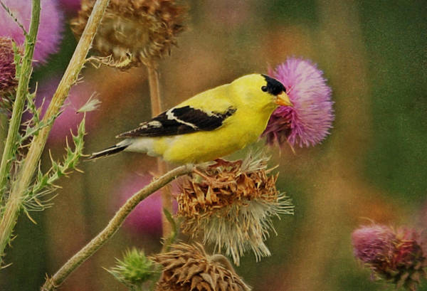 Photograph - Goldfinch On Thistle by Sandy Keeton