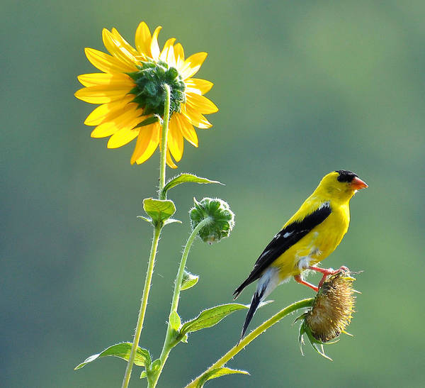 Finch Photograph - Gold Finch by Todd Hostetter