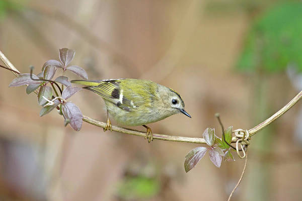 Photograph - Goldcrest by Peter Walkden