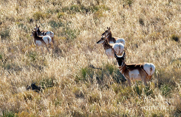 Pronghorn Photograph - Golden Antelope Herd by Mike Dawson