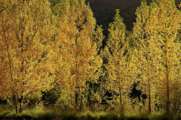 Photograph - Golden Aspens by Leda Robertson