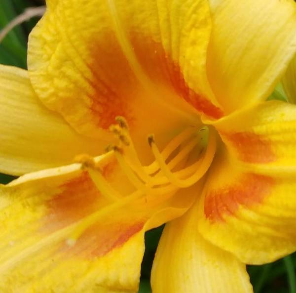 Surprise Lily Photograph - Golden Awakening by Trent Jackson