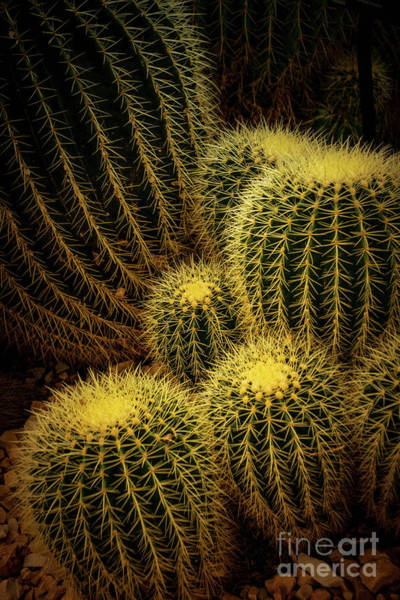 Wall Art - Photograph - Golden Ball Cactus - Milwaukee Domes by Mary Machare