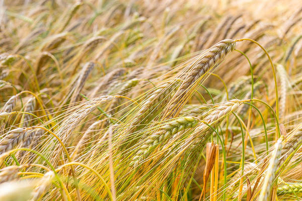 Photograph - Golden Barley. by Gary Gillette