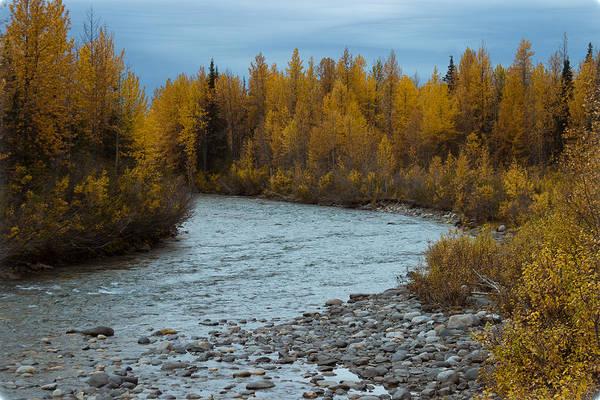 Photograph - Golden Birch In Alaska by Jeff Folger