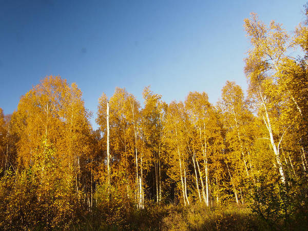 Photograph - Golden Birches by Ian Johnson