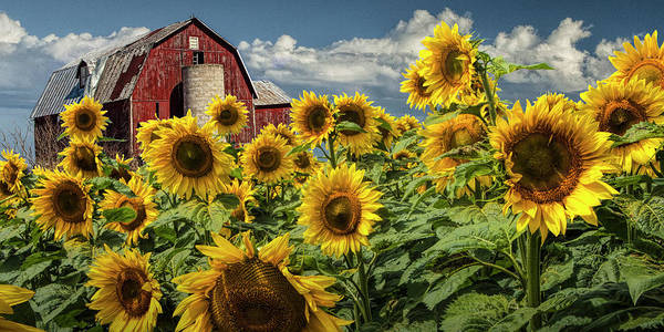 Photograph - Golden Blooming Sunflowers With Red Barn In Panorama by Randall Nyhof