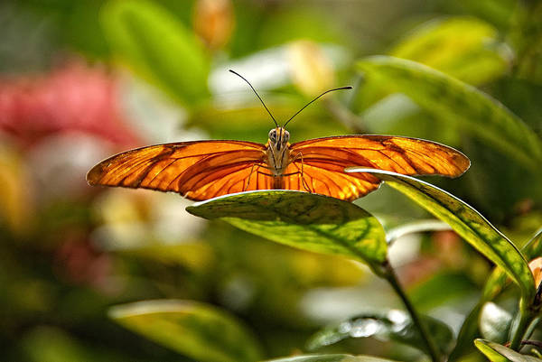 Photograph - Golden Butterfly by Harry Spitz