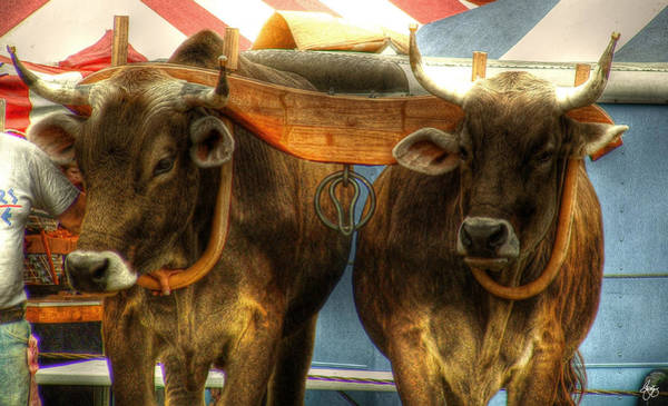 Photograph - Golden Calves by Wayne King