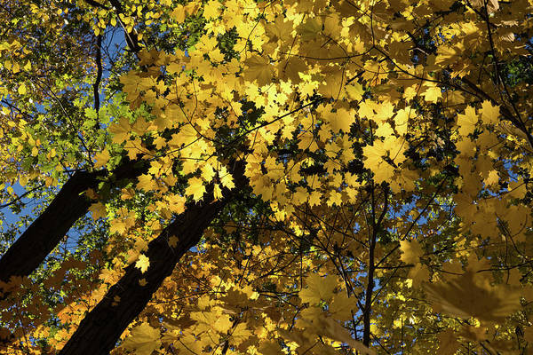Photograph - Golden Canopy - Look Up To The Trees And Enjoy Autumn - Horizontal Left by Georgia Mizuleva