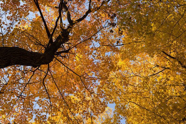 Photograph - Golden Canopy - Twisted Tree Trunk Horizontal by Georgia Mizuleva
