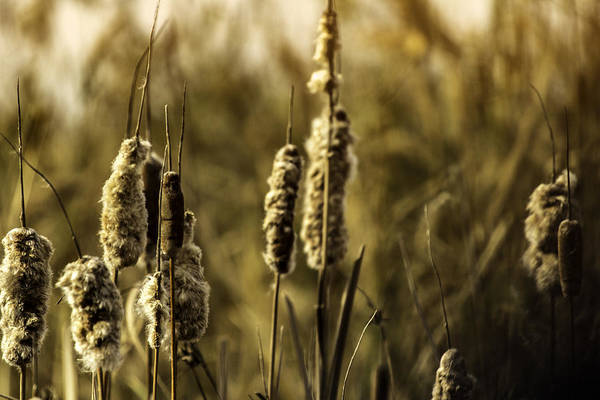 Photograph - Golden Cattails by Pete Federico