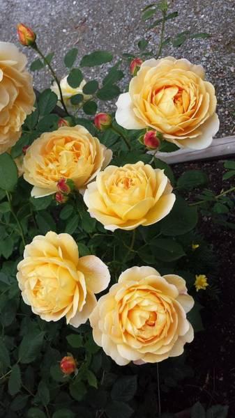 Photograph - Golden Celebration Rose by Sharon Duguay