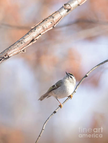 Photograph - Golden-crowned Kinglet by Charles Owens