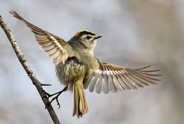 Wall Art - Photograph - Golden-crowned-kinglet by Mircea Costina