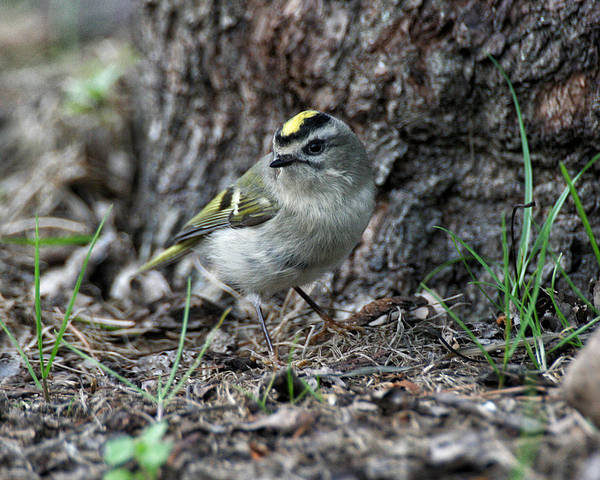Photograph - Golden-crowned Kinglet by William Selander