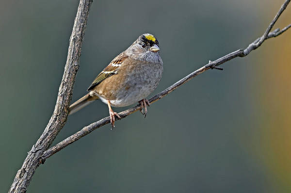 Wall Art - Photograph - Golden Crowned Sparrow In Early Fall by Laura Mountainspring