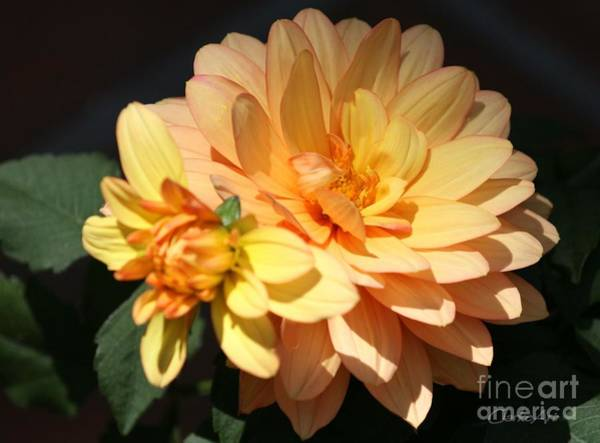 Photograph - Golden Dahlia With Bud by Jean Clarke