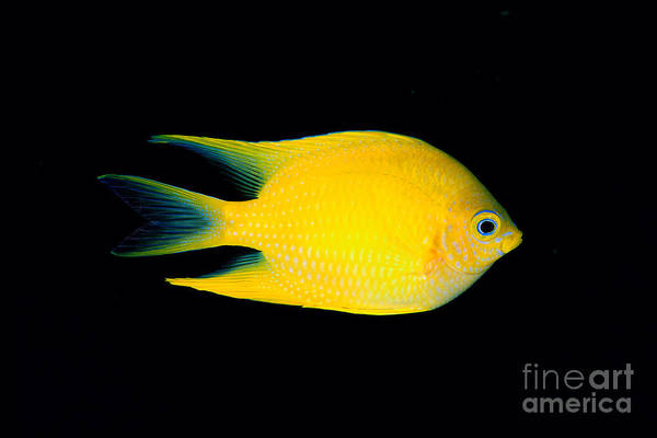 Pomacentridae Photograph - Golden Damselfish by Dave Fleetham - Printscapes