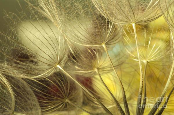 Wall Art - Photograph - Golden Dandelions  by Iris Greenwell