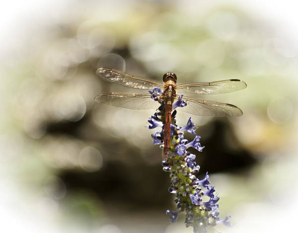 Wall Art - Photograph - Golden Dragonfly by Carolyn Marshall