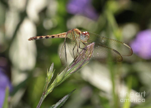 Photograph - Golden Dragonfly On Flower Bud by Carol Groenen