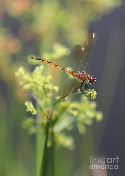 Photograph - Golden Dragonfly On The Pond by Carol Groenen