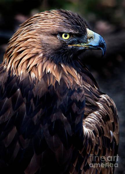 Photograph - Golden Eagle 1 by David Millenheft