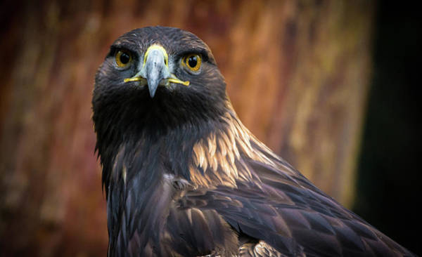 Photograph - Golden Eagle 1 by Jason Brooks