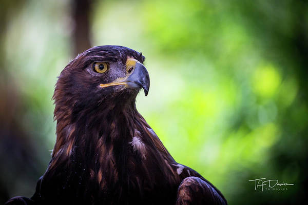 Photograph - Golden Eagle 2 by T A Davies