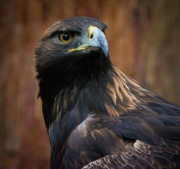 Photograph - Golden Eagle 4 by Jason Brooks