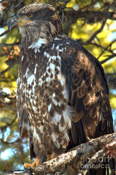 Photograph - Golden Eagle Blending In by Adam Jewell