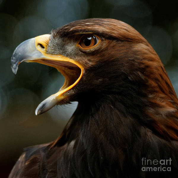 Photograph - Golden Eagle Call by Sue Harper