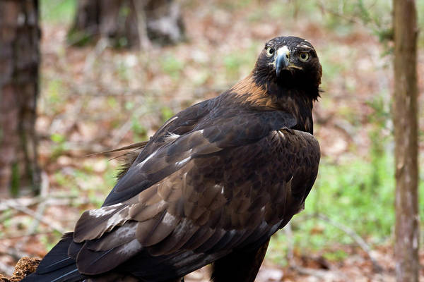Photograph - Golden Eagle Close Up by Jill Lang