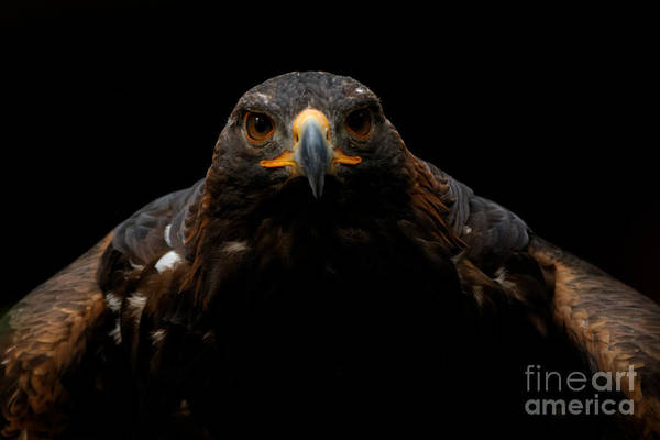 Photograph - Golden Eagle - Full Frontal by Sue Harper