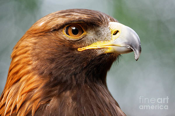 Golden Eagle Intensity Art Print