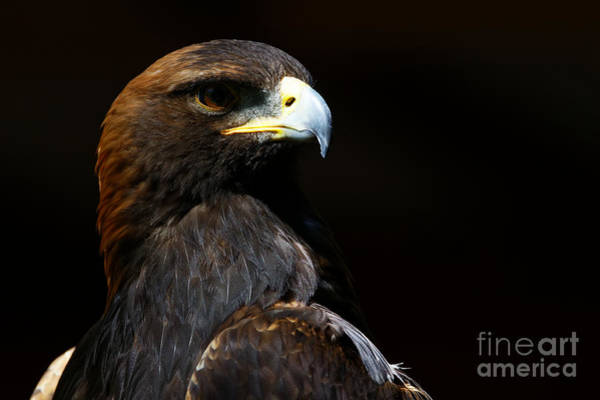 Photograph - Golden Eagle On Black by Sue Harper