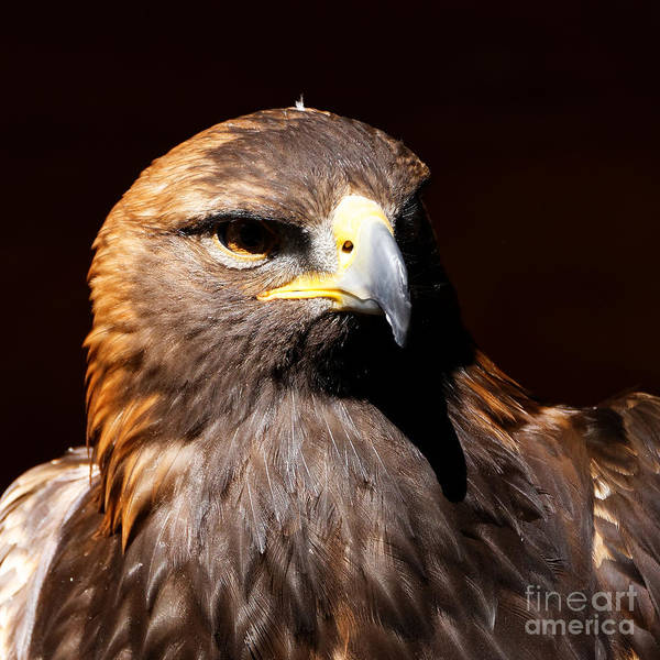 Photograph - Golden Eagle - Portrait by Sue Harper