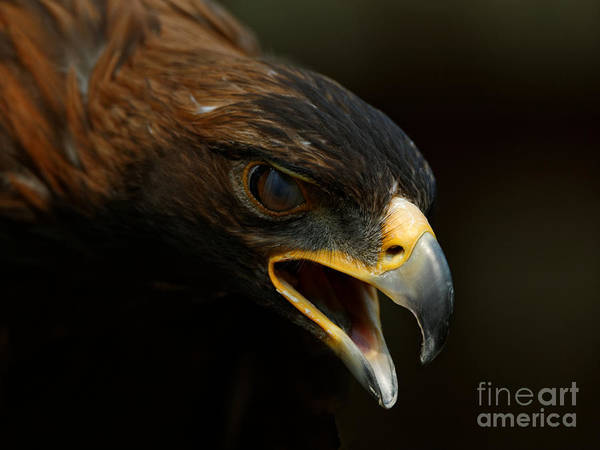 Photograph - Golden Eagle - Raptor Pose by Sue Harper