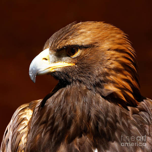 Photograph - Golden Eagle - Raptor by Sue Harper