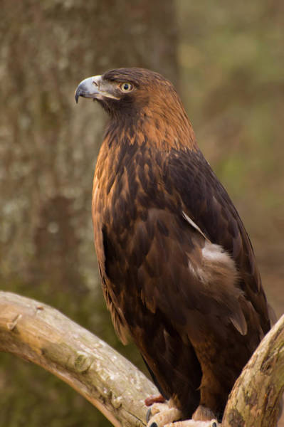 Photograph - Golden Eagle Resting On A Branch by Chris Flees