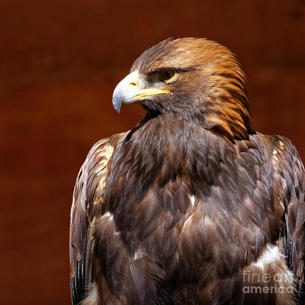 Photograph - Golden Eagle - Royalty by Sue Harper
