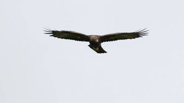 Photograph - Golden Eagle Soars by Peter Walkden