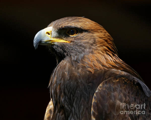 Photograph - Golden Eagle Strength by Sue Harper